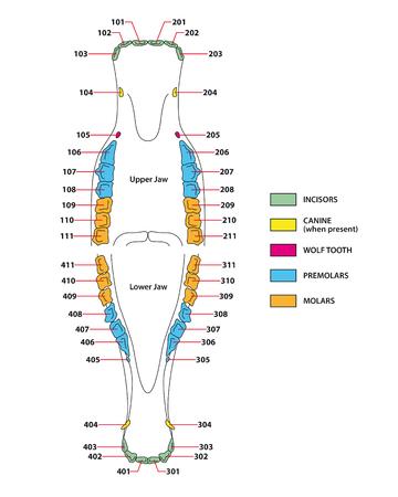 molares: construcción de una fórmula dental de los dientes del caballo