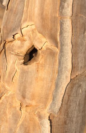 knothole: bark with a quiver tree knothole Namibia