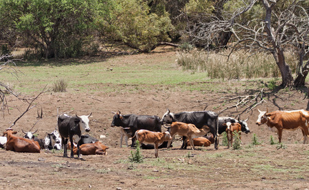 rustenburg: Cattle herd on a farm near Rustenburg, South Africa