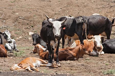 Cattle herd on a farm near Rustenburg, South Africa