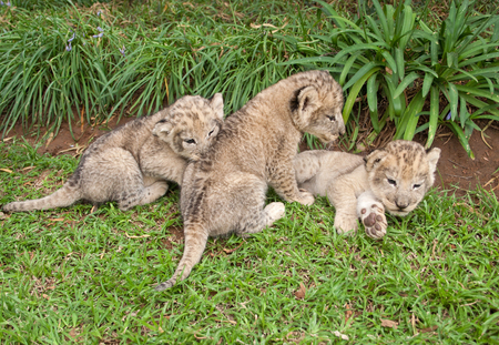 cubs: Three Lion babies playing in a park, South Africa Stock Photo