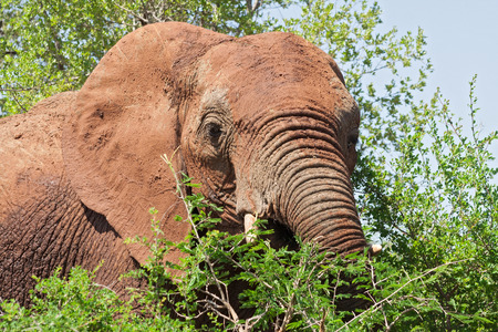 kruger national park: Portrait of an elephant in the Kruger National Park, South Africa Stock Photo