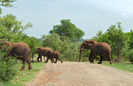 familias jovenes: A group of elephants crosses a gravel track in the Kruger National Park, South Africa