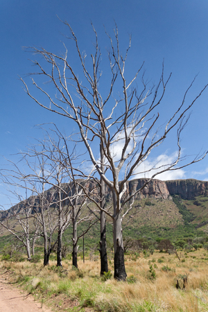 unattached: Landscape with burnt trees in the south of Marakele National Park, South Africa