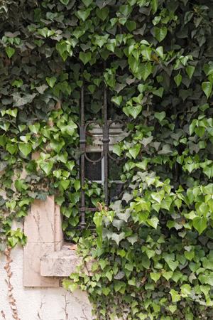 lattice window: An old window with iron lattice grown with ivy Stock Photo