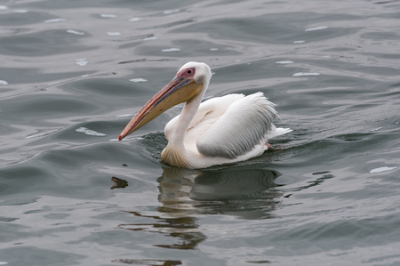 swimming great white pelican at Walvis Bay, Namibia