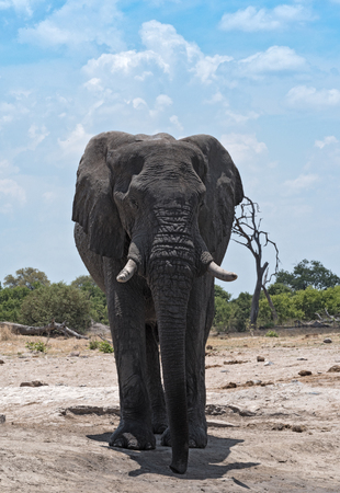 Elephant Bull at a waterhole at Chobe National Park, Botswana