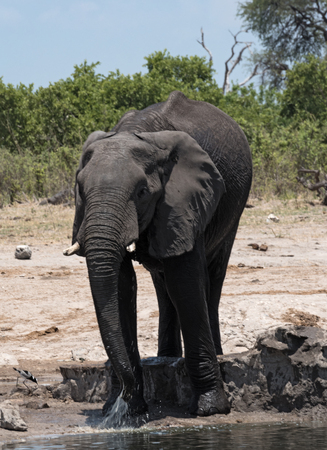 Elephant at a waterhole at Chobe National Park, Botswana