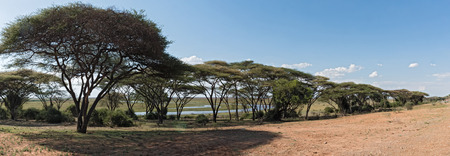 Acacia forest on the bank of the Chobe River in Botswana Stock Photo