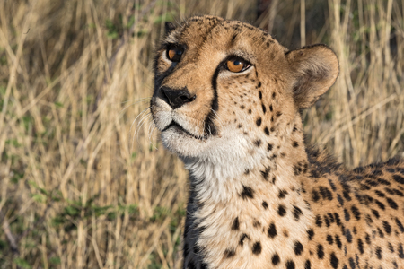 Portrait of a cheetah in the evening sun light, Namibia Stock Photo