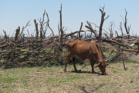Cattle on a pasture on the shore of Lake Ngami south of the Okawango Delta in Botswana.