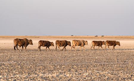 herd of cattle on Makgadikgadi Pan, Nwetwe Pan in Botswana. Stock Photo