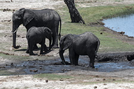 Elephant group on the Chobe River Front in Chobe National Park, Botswana Stock Photo