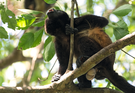 Howler monkey in a tree on an island in Gulf of Chiriqui panama