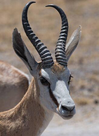 Retrato de un Impala ram en el Parque Nacional Nxai Pan de Botswana Foto de archivo