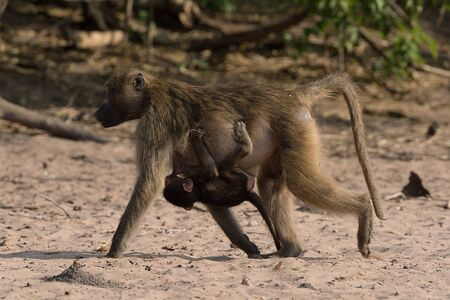 Baboon mother with cub on the bank of the Chobe River in Botswana