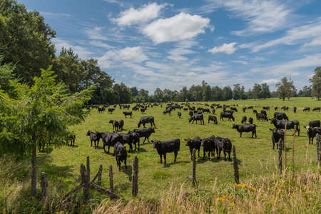 Black cattle in a pasture while grazing near Puyehue, Los Lagos, Chile