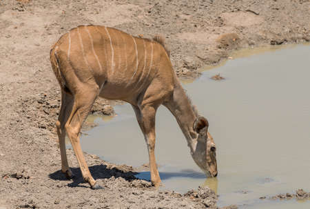 Female greater kudu, Tragelaphus strepsiceros, drinking at a waterhole 写真素材