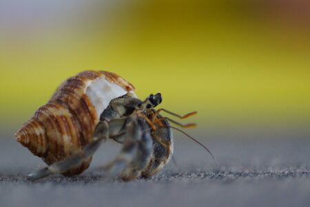 Macro photo of sea crab with shell and claws standing on grey ground. Bright yellow brown background. Closeup