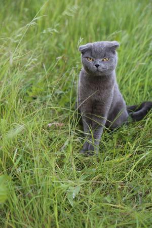 twee: Scottish fold kitten on green meadow