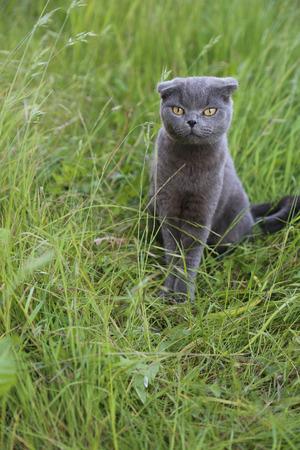 witty: Scottish fold kitten on green meadow