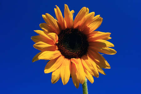 A photo of a sunflower with sky background
