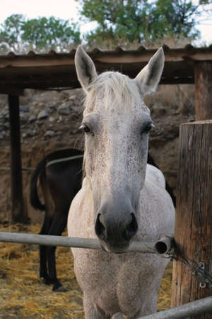 A photo of white horse face on farm