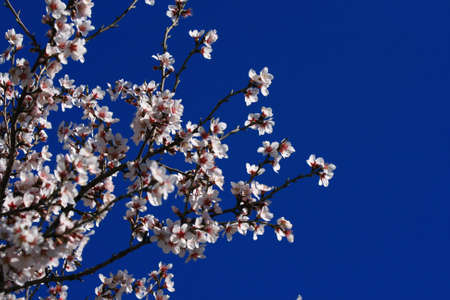 Blossoming olive tree at spring Stock Photo - 2801784