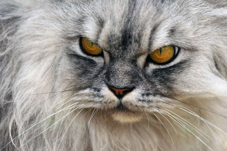 A photo of an angry cat