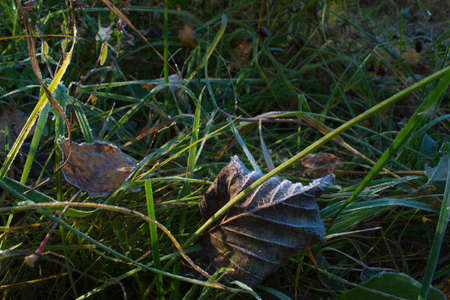 Leaves covered with frost lie on the cold ground