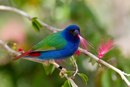 finch: Tricolor parrot finch Stock Photo