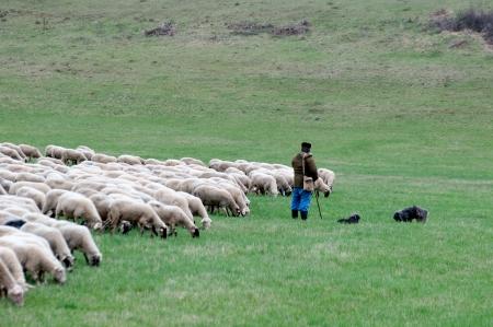 pastor: Pastor con las ovejas y los perros Foto de archivo