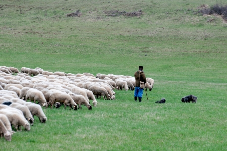 Shepherd with sheep and dogs