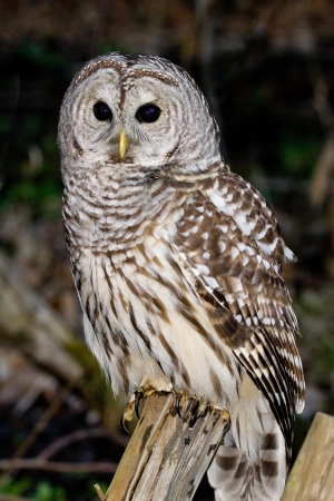 Barred Owl Stock Photo - 15622776