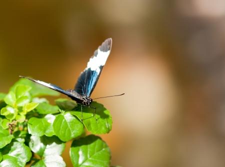 Colorful Sapho papillon Banque d'images
