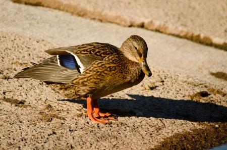 Le canard colvert femelle Banque d'images