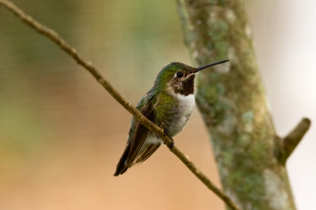 Broad tailed himmingbird