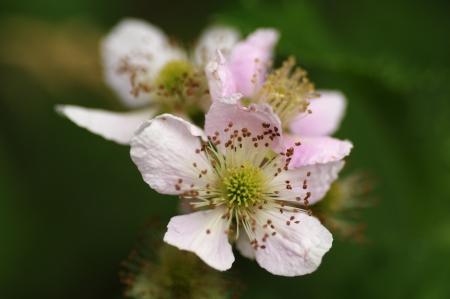 Blackbery Flower
