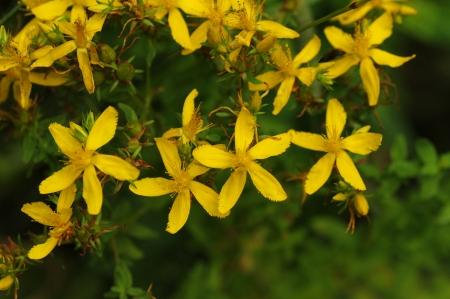 goldenrod: Goldenrod Flowers Stock Photo
