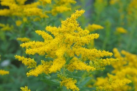 Yellow ragweed flowers Stock Photo