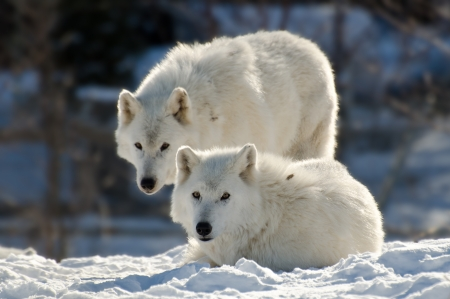 observant: Two Arctic wolves Stock Photo