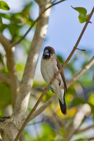 Black and White Seedeater Stock Photo