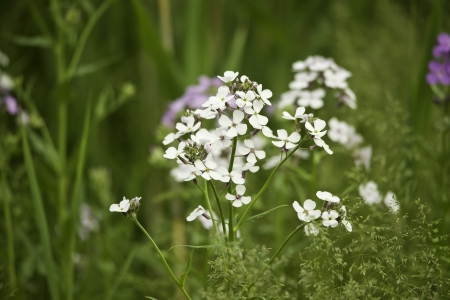 White fireweed flowers