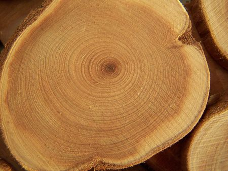 Cross section of juniper tree. Close up.