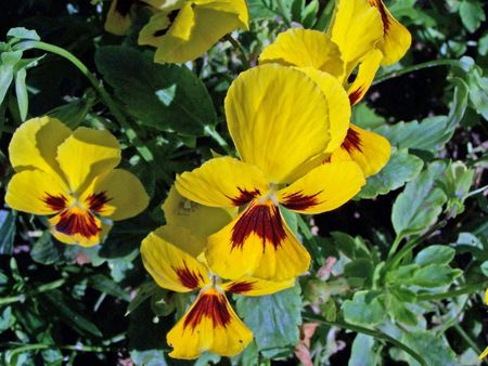 dainty: Pansies. Sunny day. Background. Close up. Colorful.