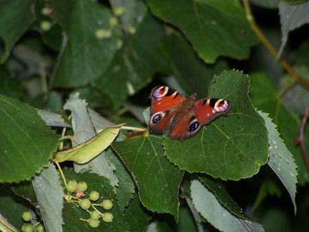 Mariposa sobre la hoja de tilo. Close up. Verano Foto de archivo - 2832388