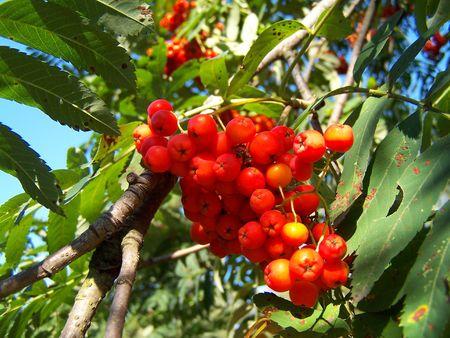 Ripe berries of mountain ash. Macro. Summer.