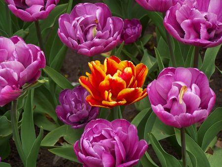 Heldere kleuren en passie van de bloemen. Macro. Stockfoto