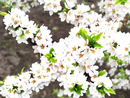 Cherry white flowers and fresh green leaves. Stock Photo - 2848546