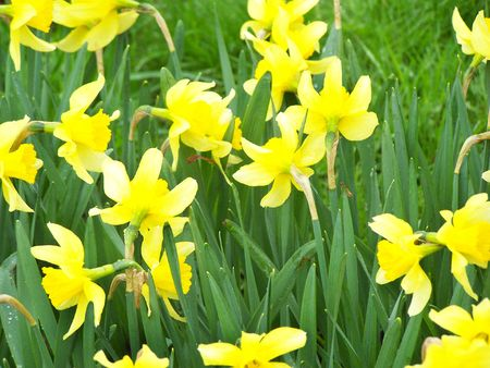 Yellow daffodiles. Green grass. Close up. Outdoors.